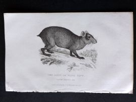 Cuvier C1830 Antique Print. Aguti or Olive Cavy